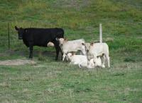 Thumbnail of Angus Cows with Charolais Sired Calves
